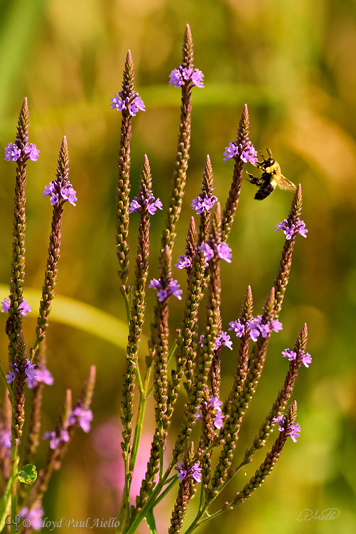 A Western honey bee (Apis mellifera) feeds on a purple flower.  <br /> <br /> The Western or European honey bee is the most common of the 7&ndash;12 species of honey bee worldwide, and one of the first domesticated insects.  It is the primary species maintained by beekeepers to this day for both its honey production and pollination activities. With human assistance, the western honey bee now occupies every continent except Antarctica. Because of its wide cultivation, this species is the single most important pollinator for agriculture globally. <br /> <br /> The Indian or Sacred Lotus has roots in the soil of the pond bottom, while the leaves float on top of the water surface or are held well above it. The flowers rise above the leaves and the plant normally grows to a height of about 150 cm (60 inches) and a horizontal spread of up to 3 meters (over 3 feet).  A single leaf may be as large as 60 cm (24 inches) in diameter, while the showy flowers can be up to 20 cm (8 inches) in diameter.  The lotus has a remarkable ability to regulate the temperature of its flowers to within a narrow range.  Lotus flowers have been shown to maintain a temperature of 30&ndash;35 &deg;C (86&ndash;95 &deg;F), even when the air temperature dropped to 10 &deg;C (50 &deg;F). The Lotus is one of only three species of known thermoregulating, heat-producing, plants. Lotus flowers, seeds, young leaves, and roots are all edible.  An individual lotus can live for over a thousand years and has the rare ability to revive into activity after stasis. In 1994, a seed from a sacred lotus, dated at roughly 1,300 years old &plusmn; 270 years, was successfully germinated.<br /> <br /> In Buddhist symbolism, the lotus represents purity of the body, speech, and mind as if floating above the muddy waters of attachment and desire. In classical written and oral literature of many Asian cultures, the lotus represents elegance, beauty, perfection, purity and grace.