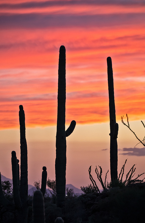 Saguaro cactus in Saguaro National Park in Tuscon Arizona.