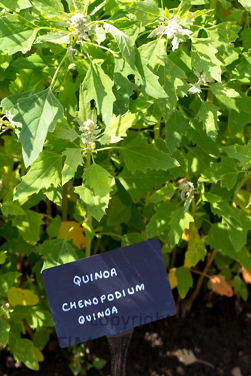 Quinoa, Chenopodium quinoa, in vegetable garden at Le Manior aux Quat Saisons hotel in Oxfordshire UK