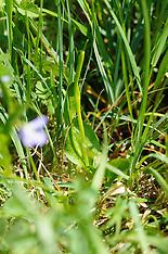 Addertong, Ophioglossum vulgatum