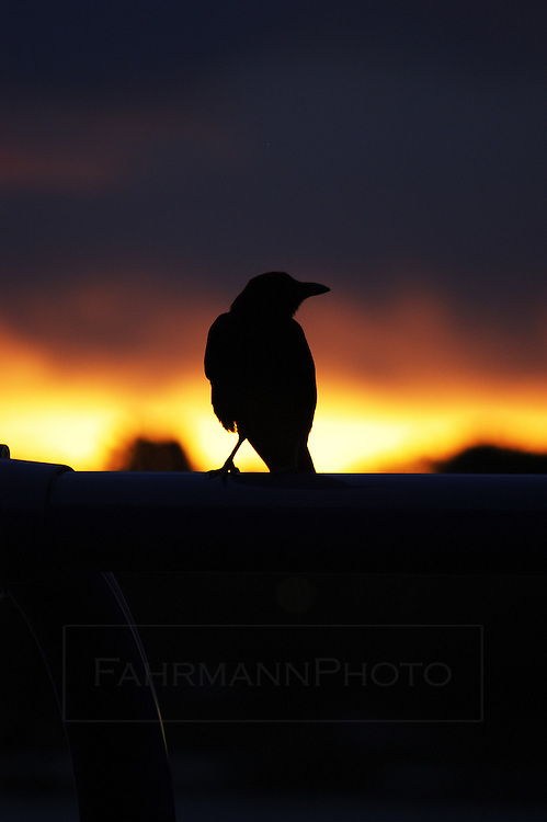 Crow sits on a perch in silhouette watching the sunrise