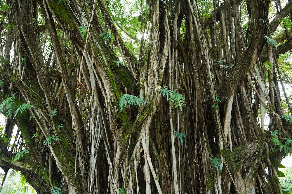 Banyan tree in Hilo, Hawaii