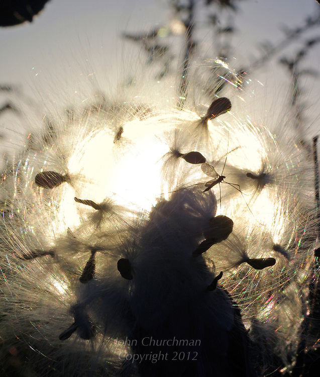 Milkweed, sunset, fall, autumn, seed, pod, scatter