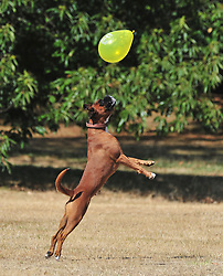 &copy; Licensed to London News Pictures. 01/08/2018<br /> Greenwich, UK. A boxer dog playing with a balloon in Greenwich Park London, as a heatwave is set to return to the UK. Photo credit: Grant Falvey/LNP