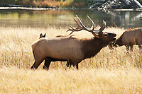 A Bull Elk bugles along the Madison River in Yellowstone National Park its almost October and soon the rut will end.