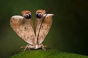 Peacock Katydid (Pterochroza sp.)<br /> Yasuni National Park, Amazon Rainforest<br /> ECUADOR. South America