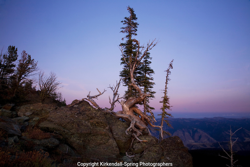 ID00112-00...IDAHO - Weathered old snag at sunset along the Boise Trail #101 near the Heavens Gate Trailhead.