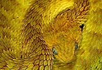 Variable Bush Viper - Atheris squamigera