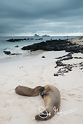 A Galapagos sea lion pup and mother rest on a beach in Cerro Brujo, San Cristobal island, Galapagos islands.