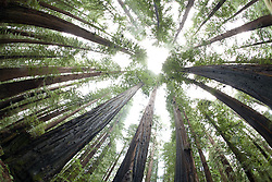 Scenic of old growth Redwoods. Avenue of the Giants. Humbolt County, CA.