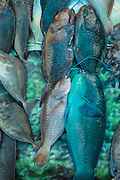 Parrotfish<br /> Coral Reef Species for sale<br /> Suva Sea Food Market<br /> Suva<br /> Viti Levu<br /> Fiji. <br /> South Pacific