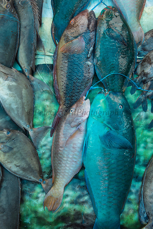 Parrotfish<br /> Coral Reef Species for sale<br /> Suva Sea Food Market<br /> Suva<br /> Viti Levu<br /> Fiji. <br /> South Pacific