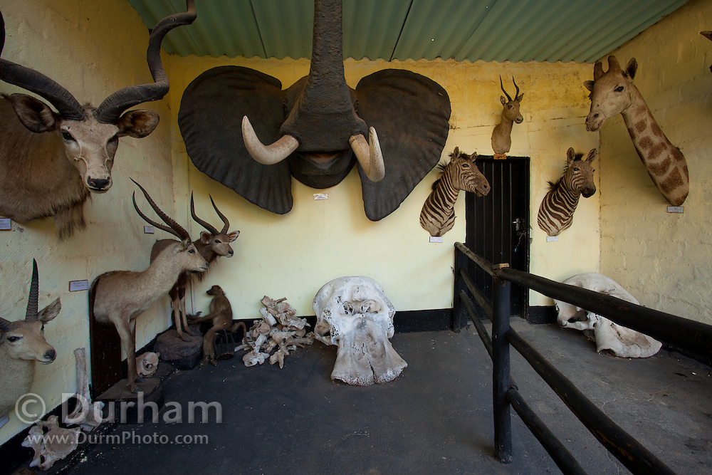 Mounted african wildlife and an elephant skull used for educational display at the Chipangali Wildlife Orphanage, Bulawayo, Zimbabwe. © Michael Durham / www.durmphoto.com