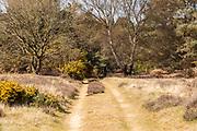 Heathland vegetation in Suffolk Sandlings, Sutton Heath, Suffolk, England, UK