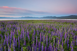 """Tahoe Lupine at Sunrise 2"" - These Lupine wildflowers and sunrise were photographed  at Lake Forest Beach, Lake Tahoe."