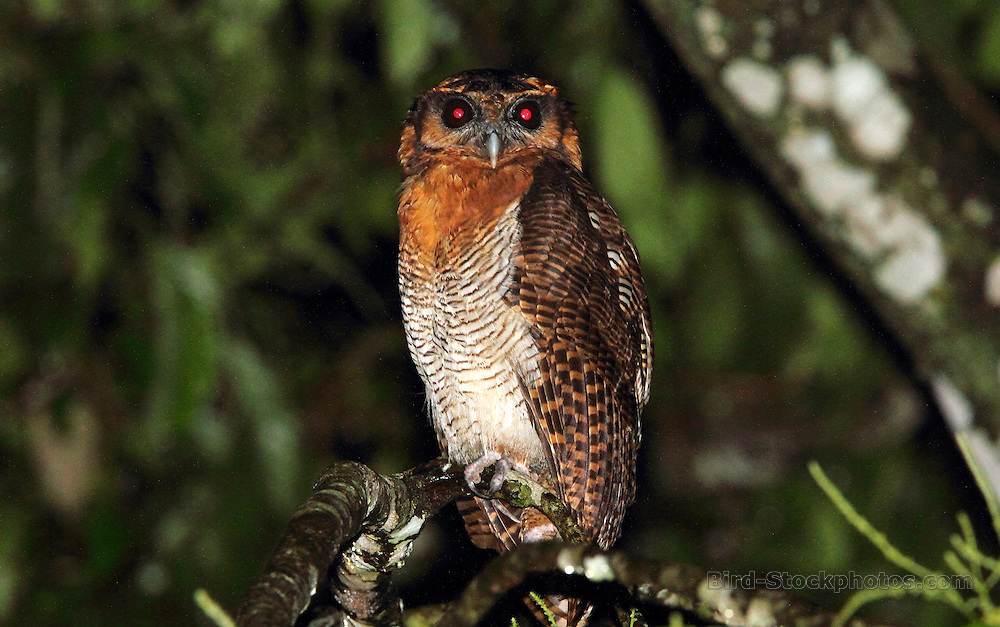 Brown Wood Owl, Strix leptogrammica, Tabin Wildlife Reserve, Sabah, Borneo, Malaysia, by Adam Riley