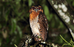 Brown Wood Owl, Strix leptogrammica, Tabin Wildlife Reserve, Sabah, Borneo, Malaysia, by Adam Riley
