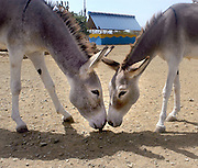 A pair of donkeys nuzzle at the Donkey Sanctuary on the Caribbean island of Bonaire September 1, 2005. Donkeys, no longer used on the island as beasts of burden, now wander in search of food and often are struck by vehicles. The sanctuary protects over 200 donkeys.