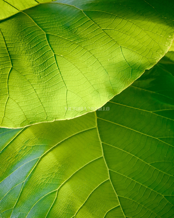 AGUA MINA, PANAMA - MAY 01: Macro view of two leaves illuminated by the golden hour sunlight. May 01, 2010. Agua Mina, Panama. (Photo: Rubén Alfú / Istmophoto)