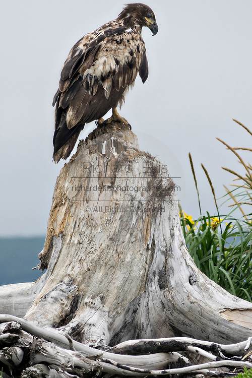A juvenile Bald Eagle perched on driftwood surrounded by Beach Sunflowers at the McNeil River State Game Sanctuary on the Cook Inlet, Alaska. The remote site is accessed only with a special permit and is the world's largest seasonal population of brown bears in their natural environment.