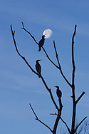 Cormorants, Phalacrocorax carbo, silhouetted against the moon, Cheshire, UK