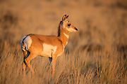 Prong antelope fawn in first autumn