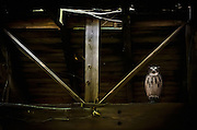 A decoy owl sits on a beam in an old barn in rural southern New Jersey as a means to inhibit rodents.