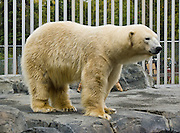 "A polar bear (Ursus maritimus) in the Alaska Zoo, Anchorage, Alaska, USA. Polar bears live mostly within the Arctic Circle, Arctic Ocean, and surrounding land. It is the world's largest land carnivore and the largest bear, together with the similar sized Kodiak Bear. Published in the book ""On Thin Ice: The Changing World of the Polar Bear"" by Richard Ellis 2009, from Alfred A. Knopf and Random House."
