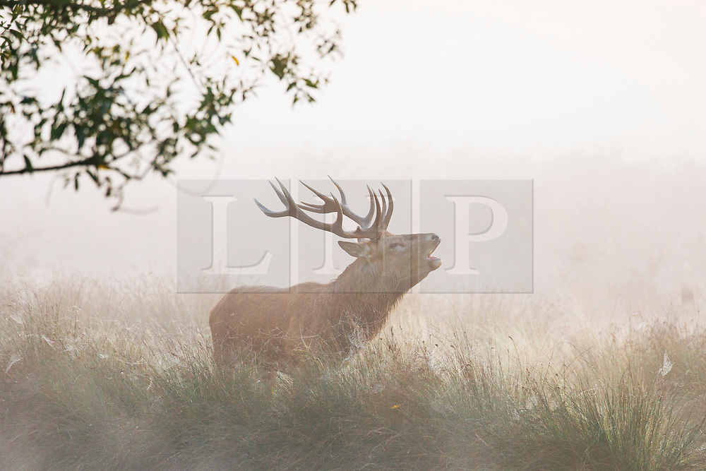 © Licensed to London News Pictures. 10/10/2018. London, UK. A stag at sunrise in Bushy Park, south London. Forecasters are expecting unusually warm temperatures for October. Photo credit: Rob Pinney/LNP