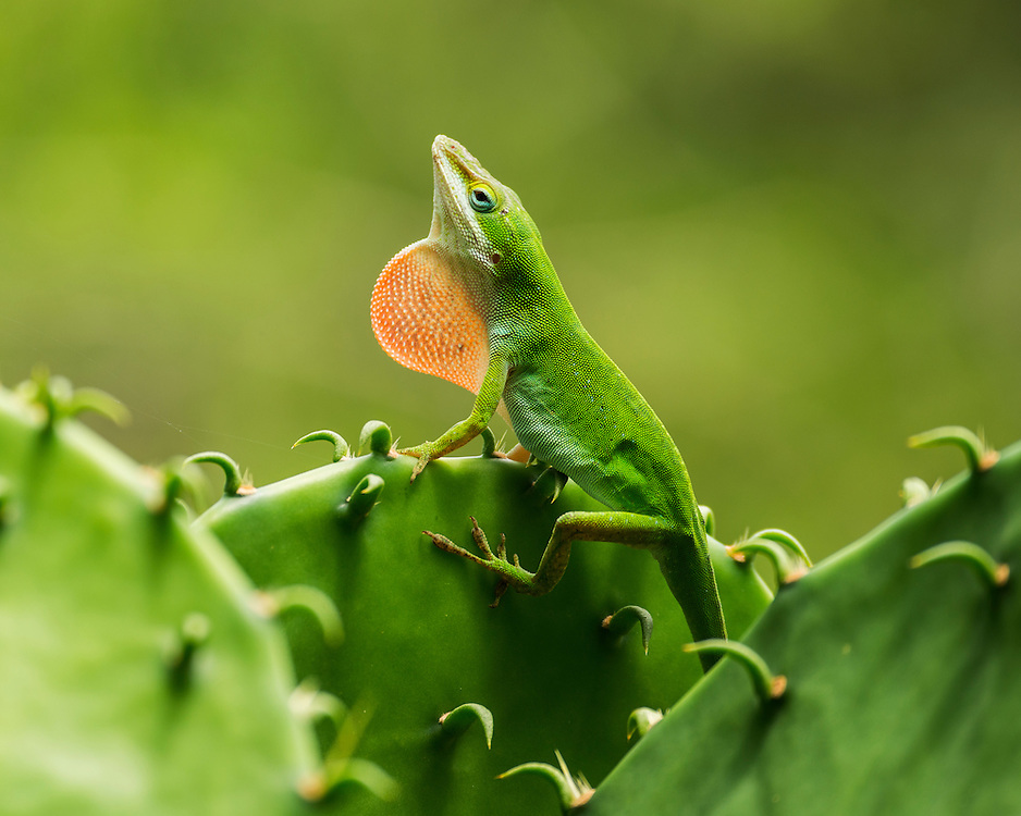 Green Anole, Anolis carolinensis;<br />