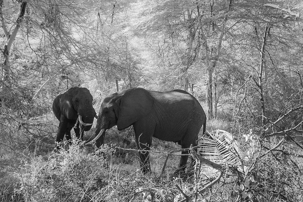 Two African bush elephant (Loxodonta africana) photographed in near-infrared, Lake Manyara, Tanzania