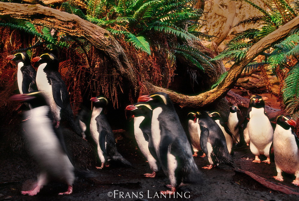 Snares crested penguins in forest, Eudyptes robustus, Snares Island, New Zealand