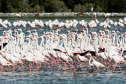 Pink flamingos at Ras al Khor wildlife bird sanctuary and wetlands in Dubai United Arab Emirates