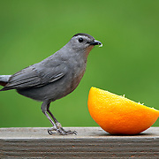 A Gray Catbird, Dumetella carolinensis, preparing to eat an orange. Passaic, New Jersey, USA, North America