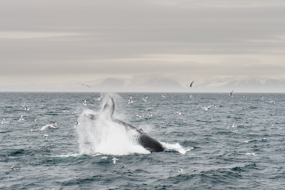 Humpback Whale, Megaptera novaeangliae, slapping the tail of the coast of Svalbard, Norway.