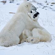 Two polar bears playing. Hudson Bay, Manitoba, Canada