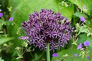 Allium Cristophii, a purple shaped allium with star shaped petals in Derry Watkins Special Plants Garden in Cold Ashton, Chippenham, Somerset, UK