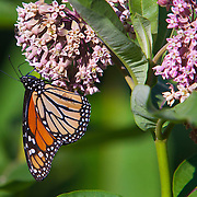 The monarch butterfly, Danaus plexippus, is a milkweed butterfly in the subfamily Danainae, in the family Nymphalidae. It may be the most familiar North American butterfly. Its wings feature an easily recognizable orange and black pattern, with a wingspan of 8.9&ndash;10.2 cm <br /> Photography by Jose More