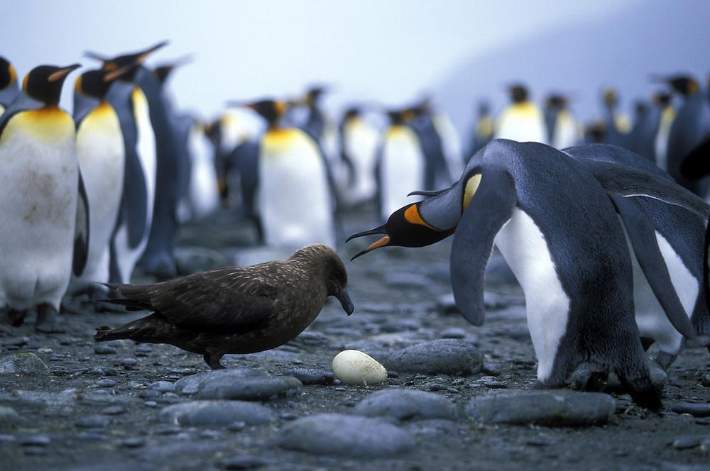 South Georgia, St. Andrews Bay, King Penguin (Aptenodytes patagonicus) warns Brown Skua (Catharacta lonnbergi) from egg