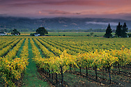 Sunrise light on vineyards, Geyserville, Alexander Valley, Sonoma County, California