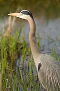 A great blue heron (Ardea herodias) in the Ridgefield National Wildlife Refuge, Washington.