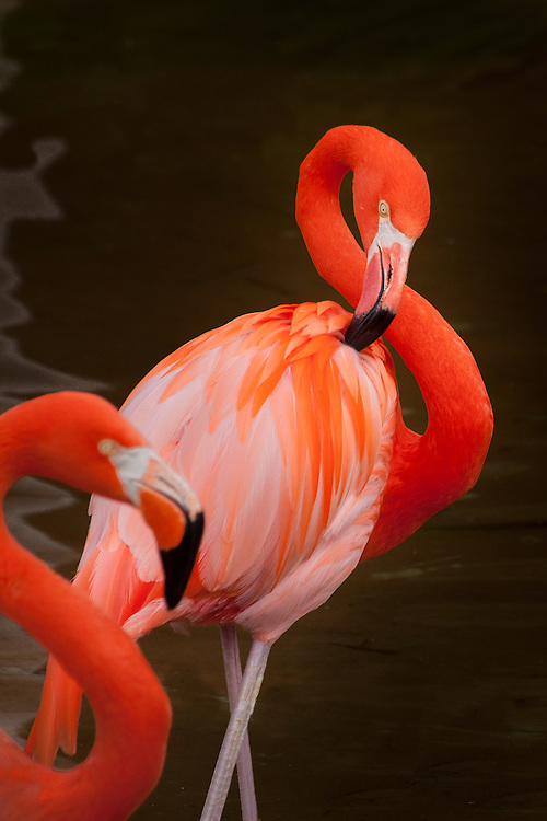 Flamingos in a pool
