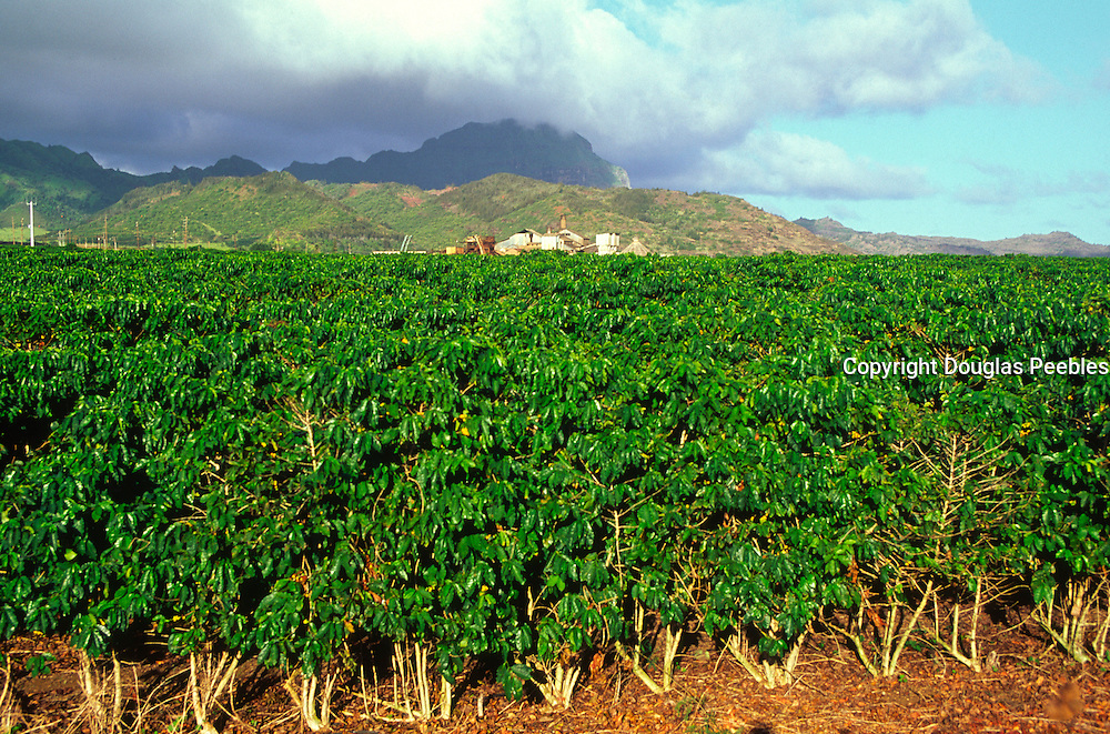 Coffee farm, Kauai<br />