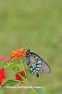 03004-00809 Pipevine Swallowtail (Battus philenor) on Red Spread Lantana (Lantana camara) Marion Co.  IL
