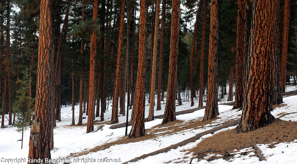 Ponderosa Pine forest. Yaak Valley in the Purcell Mountains, northwest Montana