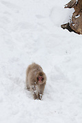 Snow monkey running down snow bank 3
