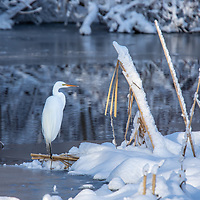 Great Egret on the shore of an icy lake after a spring snow.
