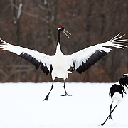 This is a pair of mature Japanese cranes (Grus japonensis) engaged in a pair-bonding performance in Hokkaido, Japan. This species is found in Siberia, Northeast China, Mongolia, Korea and northern Japan. The population in northern Japan is mostly non-migratory, remaining resident on the island of Hokkaido throughout the year. This species is listed as Endangered on the IUCN Red List.