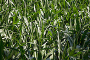 close up of a corn crop