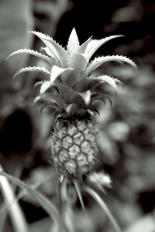 pineapple on the stalk new growth,blalck and white verticle